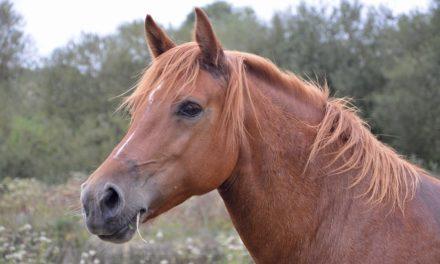 Comment bien entretenir les pieds des chevaux?